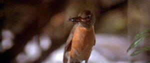 Fig. 18: I Blue Velvet bliver fuglen med ormen i næbet en påmindelse om at det ækle ikke er forsvundet helt og aldeles.