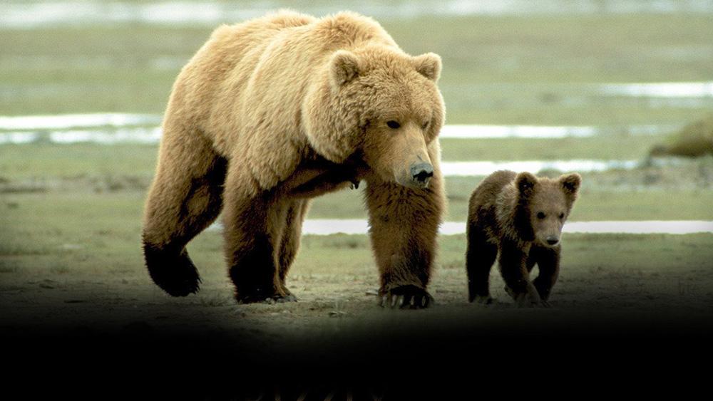Fig. 4: Grizzly Man (2005) – dokumentarfilm, som blander performative og reflektive elementer men naturfilmens observerende karakter og en affekteret, filosoferende voice over af Werner Herzog.